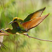 Blue-tailed Bee-eater — Stock Photo