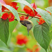 Juvenile male Black-throated Sunbird — 图库照片