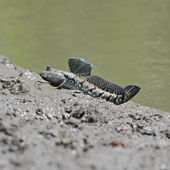 Mudskipper — Stock Photo