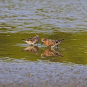 Curlew Sandpiper — Stock Photo