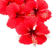 Red Hibiscus — Stock Photo
