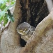 Stock Photo: Spotted Owlet