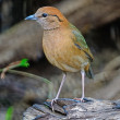 Stock Photo: Male Rusty-naped Pitta