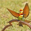 Chestnut-headed Bee eater — Stock Photo #41008259
