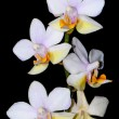 Stock Photo: Phalaenopsis hybrid