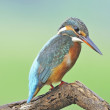 Common Kingfisher — Stock Photo #41008901