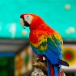Scarlet Macaw — Stock Photo #41009173