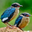 Stock Photo: Juvenile Blue-winged Pitta