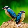 Juvenile Blue-winged Pitta — Stock Photo #41009647