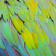 Nicobar Pigeon feather — Stock Photo