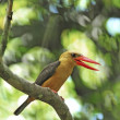 Stock Photo: Female Brown-winged Kingfisher