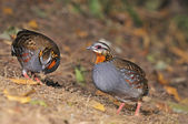 Rufous-throated Partridge — Stock fotografie