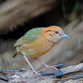 Male Rusty-naped Pitta — Stock Photo