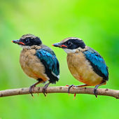 Juvenile Blue-winged Pitta — Стоковое фото