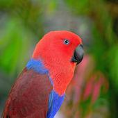 Eclectus parrot — Stock Photo