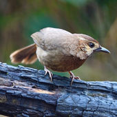 White-browed Laughingthrush — Stock Photo