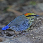Female Blue Pitta — Foto de Stock