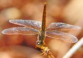 Vážka — Stock fotografie