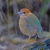Female Rusty-naped Pitta — Stock Photo