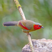 Scarlet-faced Liocichla — Foto de Stock