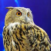 Eurasian Eagle Owl — Stock Photo