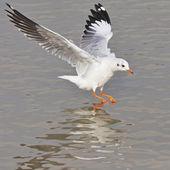 Brown-headed Gull — Stock Photo