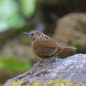 Streaked Wren Babbler — Stock Photo