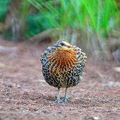 Male Mountain Bamboo Partridge — Stock Photo