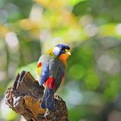 Silver-eared Mesia — Stock Photo