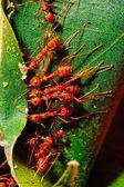 红蚂蚁 — 图库照片