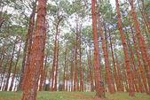 Pinus — Stock Photo
