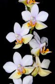 Phalaenopsis hybrid — Stock Photo