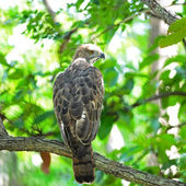 Changeable Hawk Eagle — Stock Photo
