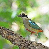 Fairy Pitta — Stock Photo