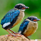 Juvenile Blue-winged Pitta — Stockfoto