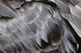 Black Swan feathers — Stock Photo