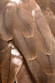 Black Kite feather — Stock Photo