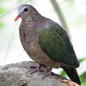 Emerald Dove — Stock Photo