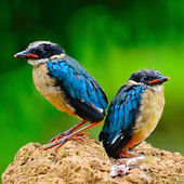 Juvenile Blue-winged Pitta — Stock Photo