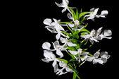 Terrestrische orchid, habenaria dentata — Stockfoto
