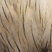 Brahminy Kite feather — Stock Photo
