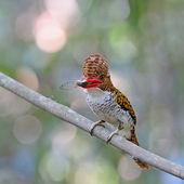 Female Banded Kingfisher — Stock Photo