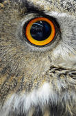 Eurasian Eagle Owl — Stock Photo