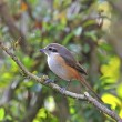 Grey-backed Shrike — 图库照片