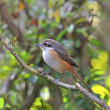 Grey-backed Shrike — Foto de Stock