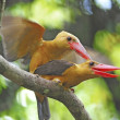 Stock Photo: Brown-winged Kingfisher
