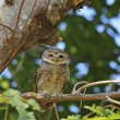 Spotted Owlet — Stock Photo #41011243