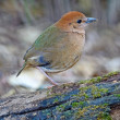 Stock Photo: Female Rusty-naped Pitta