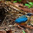 图库照片: Juvenile Blue-winged Pitta