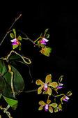 Phalaenopsis stobartiana — Stock Photo